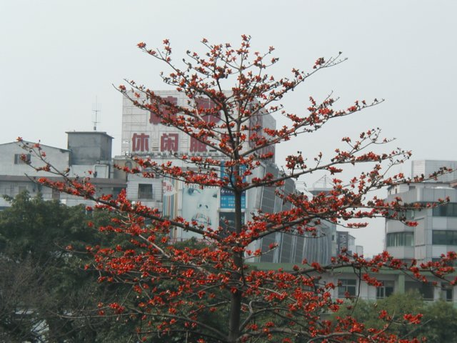 Kapok tree in bloom